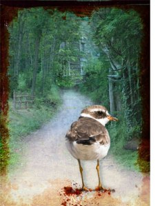 1213-killdeer2