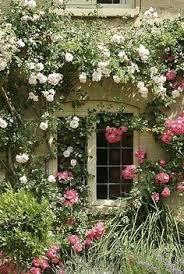 roses under window 2